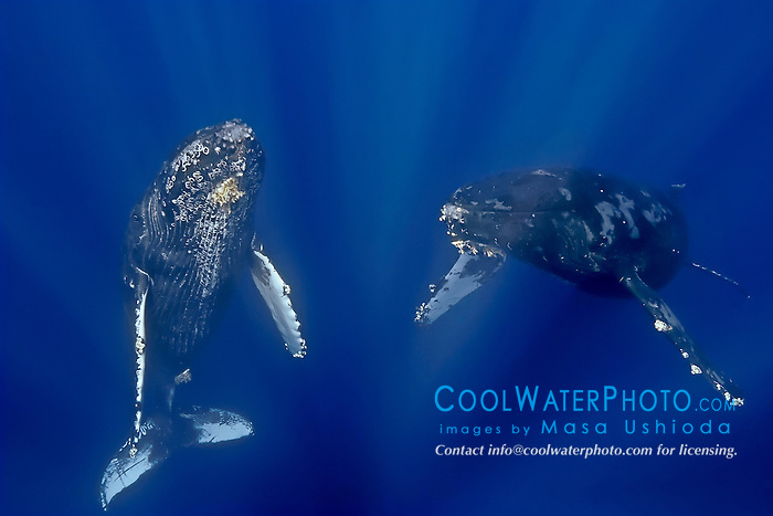 a curious pair of humpback whales, Megaptera novaeangliae, Hawaii, Pacific Ocean