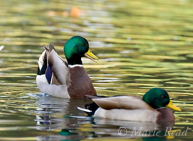 "Mallard (Anas platyrhynchos) male performing courtship display ""Head-Up-Tail-Up"", California, USA"