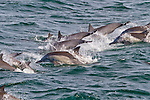 Dolphins in the Gulf of California, Baja California, Mexico
