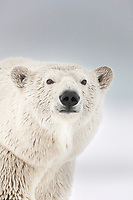 Winter polar bear portrait, Beaufort Sea, Alaska's arctic coast.