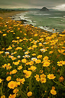 Wildflowers overlook Morro Bay on California's Central Coast