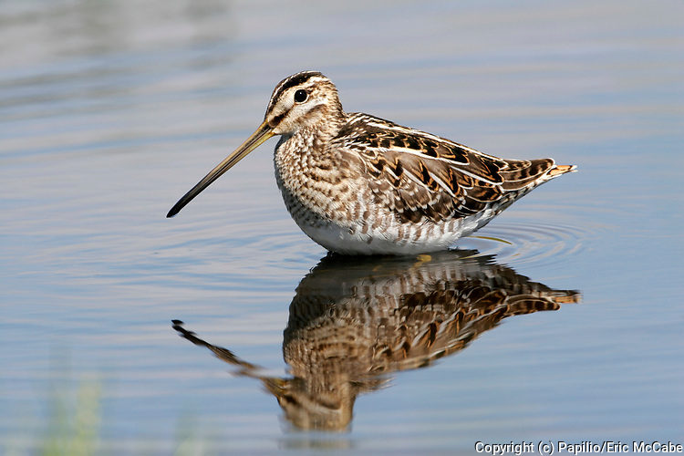Common Snipe with reflection in pond at Montrose Basin Reserve, Angus<br /> UK<br /> bird<br /> aves<br /> wader<br /> water<br /> mud<br /> waterside<br /> marsh<br /> bog