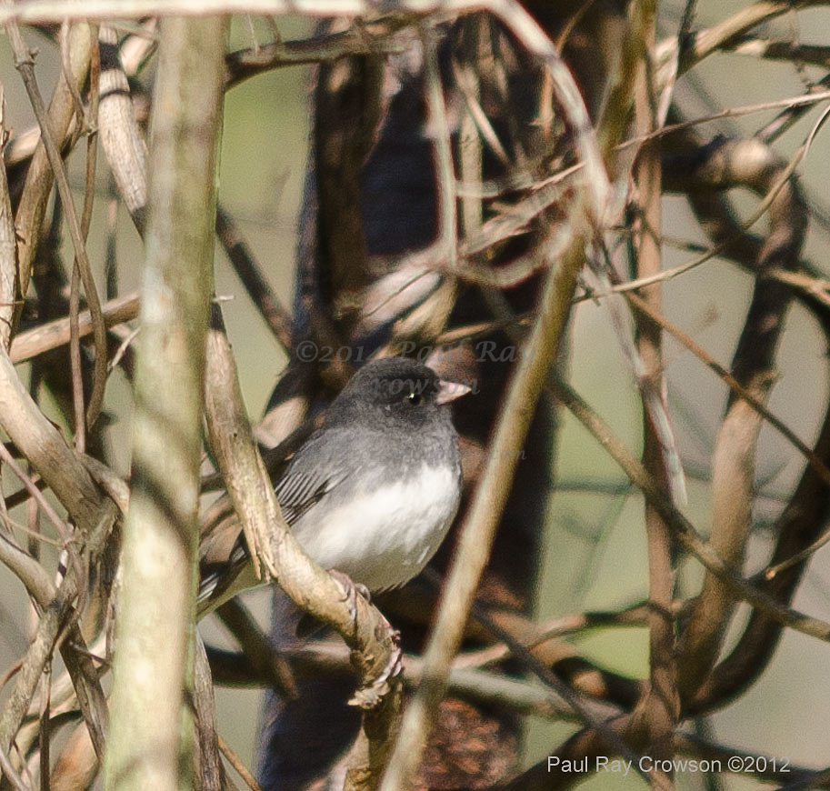 Dark-eyed Junco on vine