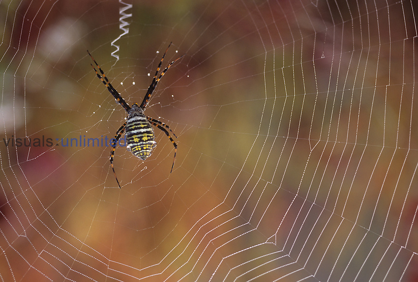 Argiope Spider in the center of its orb web ,Argiope,, North America.