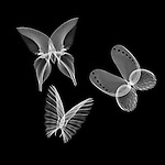 X-ray image of butterflies (white on black) by Jim Wehtje, specialist in x-ray art and design images.