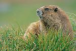 Olympic Marmot (Marmota olympus), Olypmpic NP, WA, USA