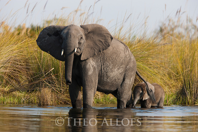 Botswana, Okavango Delta, Moremi Game Reserve,  African elephant  mother with calf (Loxodonta africana) crossing river in the delta