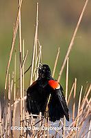 01603-025.17 Red-winged Blackbird (Agelaius phoeniceus) male singing-displaying in wetland Marion Co. IL