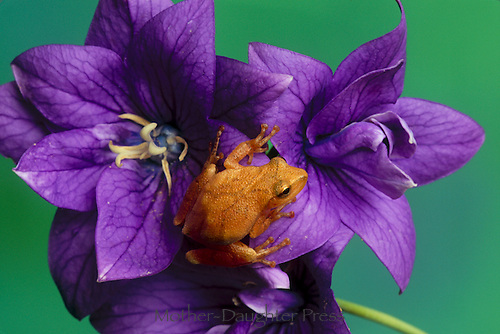 Cute spring peeper frog, Hyla crucifer, sits on lovely purple platycodon flower