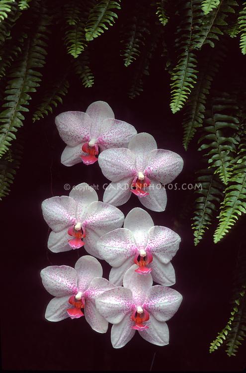 Phalaenopsis Cabrillo Star 'Perfection' orchid hybrid of Ramona x pulchra