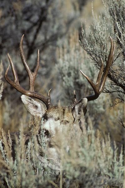 Mule deer buck (Odocoileus hemionus) among sage.  Western U.S.. November.