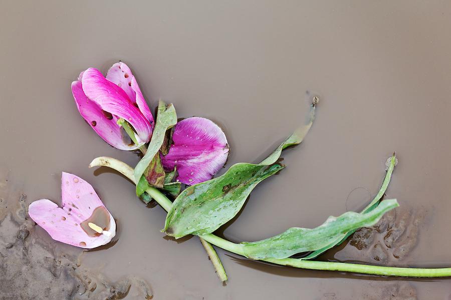 Broken tulip flower laying in muddy water, Skagit Valley, Skagit County, Washington