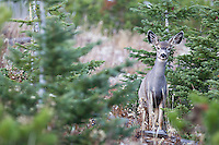 A young mule deer photographed outside Yellowstone's northeast entrance.