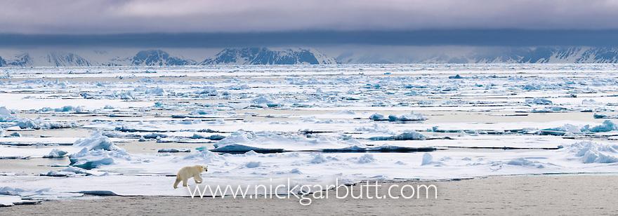 Polar Bear (Ursus maritimus) walking on ice flow. Woodfjorden, northern Spitsbergen, Svalbard, Arctic Norway. (digitally stitched image)