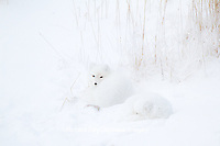 01863-01511 Arctic Foxes (Alopex lagopus) curled up along bank in snow Churchill Wildlife Management Area, Churchill, MB
