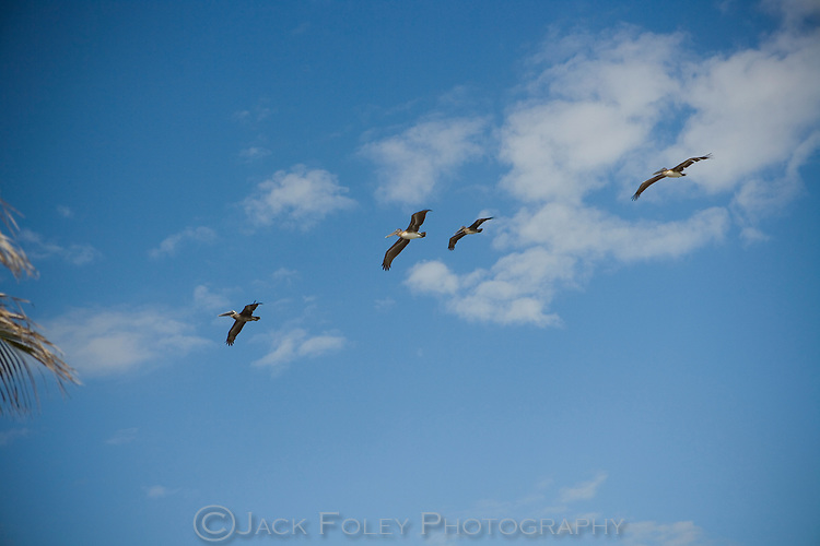 Pelicans in flight against a blue sky with puffy white clouds.
