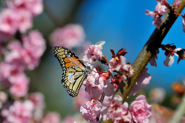 Monarch butterfly (Danaus plexippus) near Monterey Bay, CA.  Feb.
