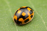 Fourteen-spotted Lady Beetle (Propylea quatuordecimpunctata) - Female, Ward Pound Ridge Reservation, Cross River, Westchester County, New York