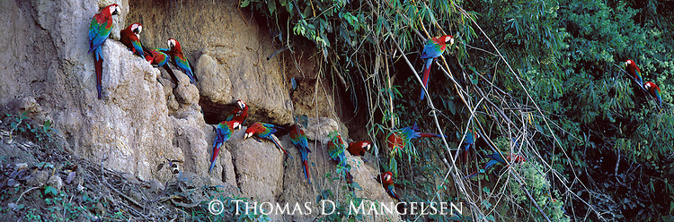Clinging to a cliff high above a remote Amazon-basin river, a flock of macaws chisel away at mineral rich clay with their strong, well-equipped bills.<br />