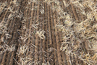 Rolling drilled oilseed rape to retain moisture <br /> &copy;Tim Scrivener Photographer 07850 303986<br />      ....Covering Agriculture In The UK....