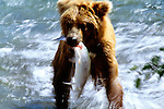 Brown bear with salmon, Katmai National Park, Alaska