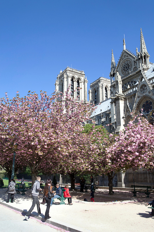 View of Notre Dame through cherry blossoms in spring from Notre Dame Park, Paris, France