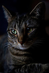 Tabby cat portrait, head shot
