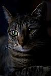 Tabby cat portrait, head shot