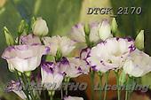 Gisela, FLOWERS, BLUMEN, FLORES, photos+++++,DTGK2170,#f#