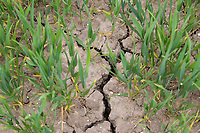 Soil cracks in winter wheat - Lincolnshirre; May