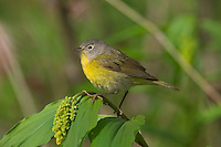 Nashville Warbler (Vermivora ruficapilla)  Great Lakes region.  May.  On what I believe is a False Solomon's-seal (Smilacina sp.), lily family.  It hasn't opened yet.