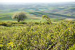 Washington,Palouse,Steptoe. A wild crab Apple tree in full bloom above the rolling fields of the Palouse as viewed from Steptoe Butte in Spring.