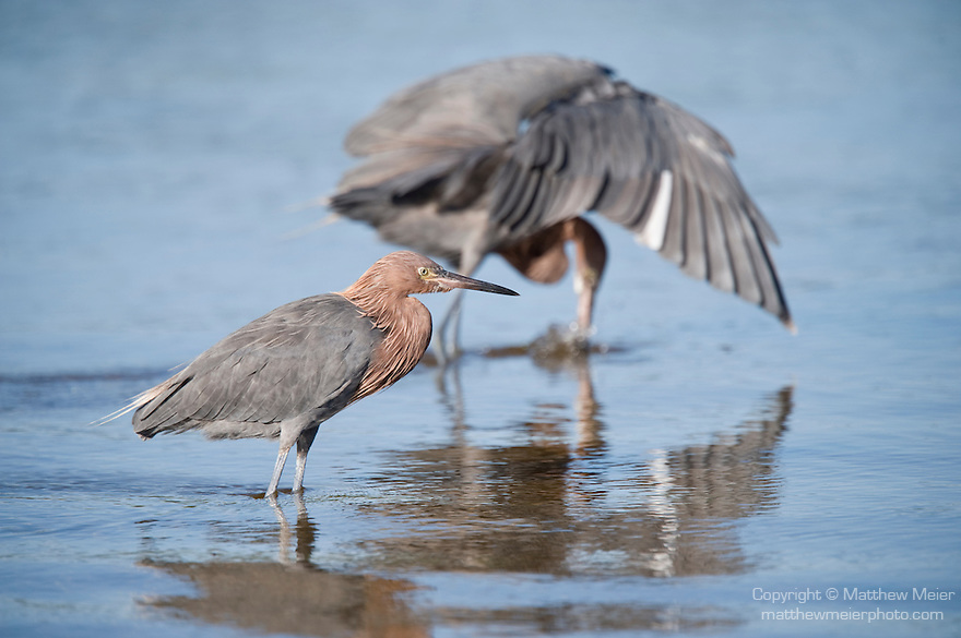 Ding Darling National Wildlife Refuge, Sanibel Island, Florida; two Reddish egret (Egretta rufescens) birds, standing in the shallow water, foraging for food, with one actively fishing, wings spread around it's head © Matthew Meier Photography, matthewmeierphoto.com All Rights Reserved
