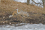 Sandhill Crane - Adults feeding
