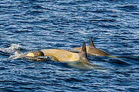 killer whale or orca, Orcinus orca, Type B orca, mother and calf, Gerlache Strait, Bransfield Strait, Antarctica, Southern Ocean