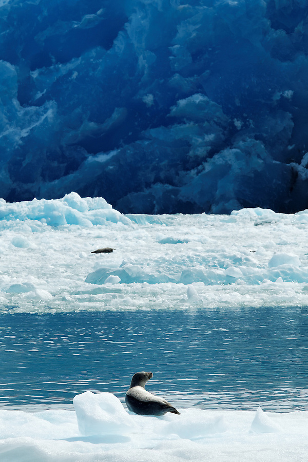 Harbor seal on icebergs floating below terminus face of South Sawyer Glacier, Tracy Arm, Southeast Alaska, USA