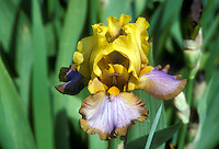 Border bearded Iris Brown Lasso