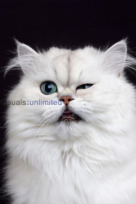 Chinchilla Persian Domestic Cat.