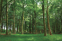 Beech Trees, Binning Memorial Wood, Tyninghame, East Lothian