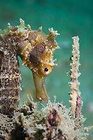 Spotted seahorse, Hippocampus kuda, Cambodia
