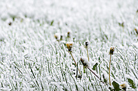 A mid-May snowfall coating closed dandelions in Michigan's Upper Peninsula.