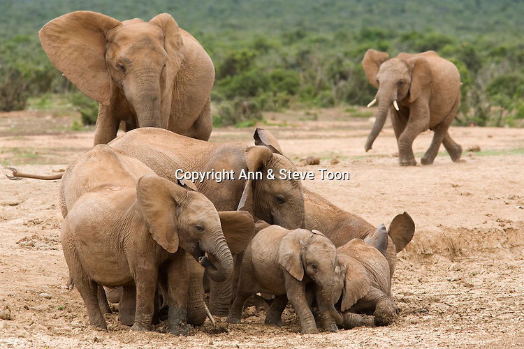 Elephant calves, Loxodonta africana, playing in mudhole, Addo national park, South Africa