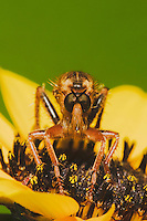 Robber Fly (Asilidae), adult, Sinton, Corpus Christi, Coastal Bend, Texas, USA