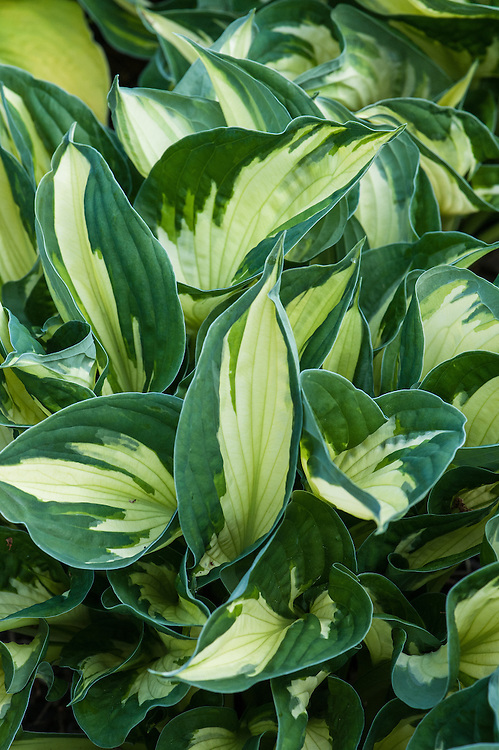 Hosta 'Whirlwind' (fortunei), mid May.