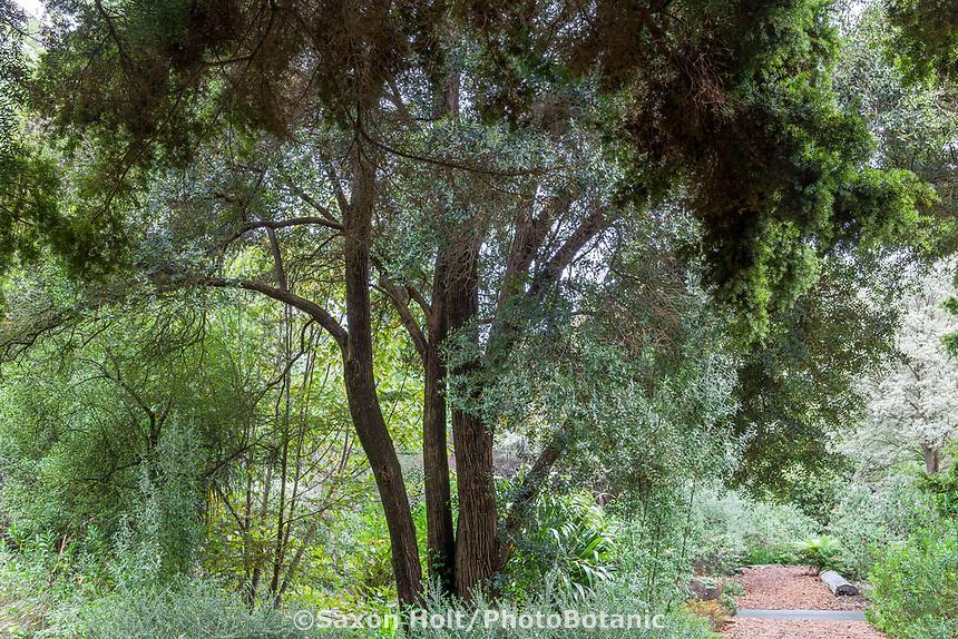 Metrosideros robusta - Northern rata, Rata, Rakapika tree in New Zealand section of San Francisco Botanical Garden
