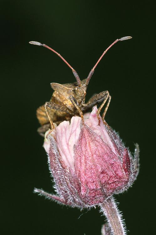 Dock Bug - Coreus marginatus