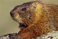 Yellow-bellied Marmot resting on large rock.  Western U.S., June.