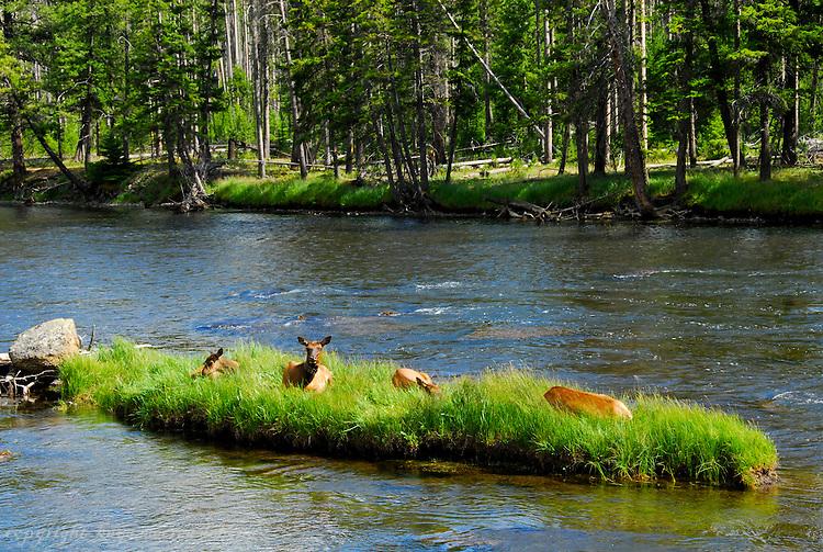 Elk at Yellowstone National Park