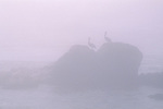 Pair of Pelican birds sitting on coastal rocks in fog near San Simeon, California