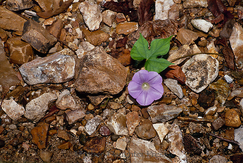 Wild morning glory grows among the gravel at the edge of a creek